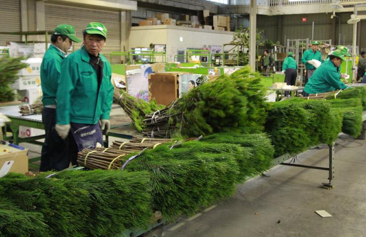 競り落とされる新年用の松=金沢市公設花き地方卸売市場