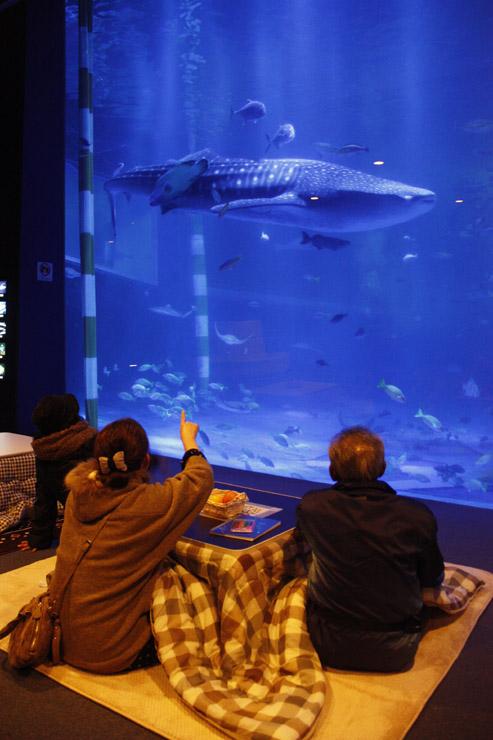 こたつに入ってジンベエザメを観賞する来館者=七尾市ののとじま臨海公園水族館