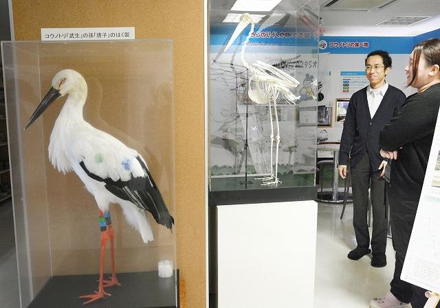 コウノトリ「唐子」の剥製(左)と分離骨格標本=越前市のしらやまいこい館