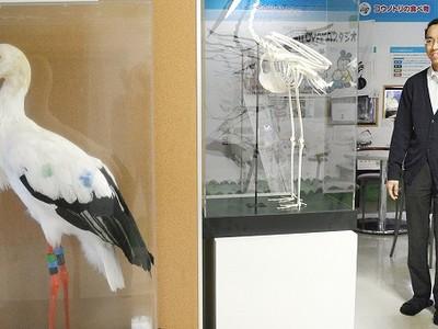 コウノトリの姿、間近で 「武生」の孫の剥製など展示