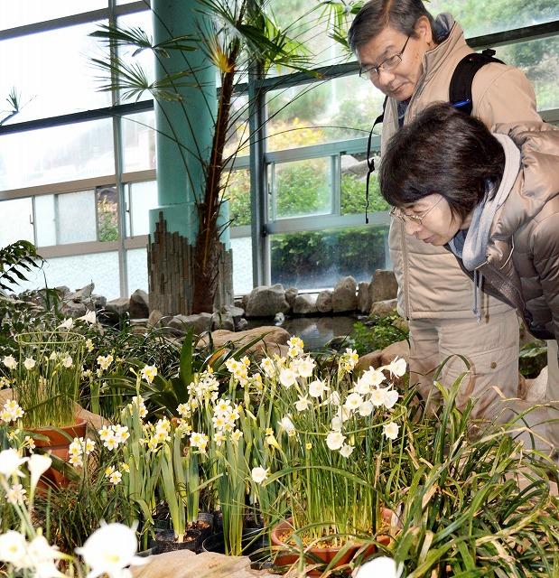 越前水仙とともに美しい花を咲かせているスイセンの原種(中央)=3日、福井市居倉町の越前水仙の里公園