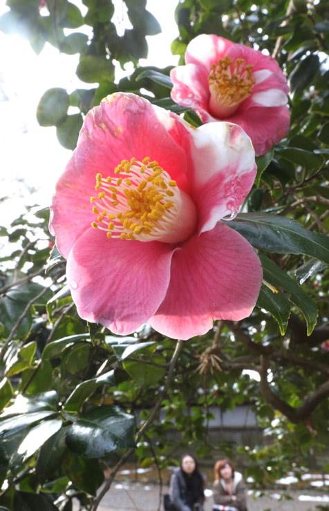 紅白の花を咲かせた「竜石のツバキ」=12日午前10時20分、兼六園