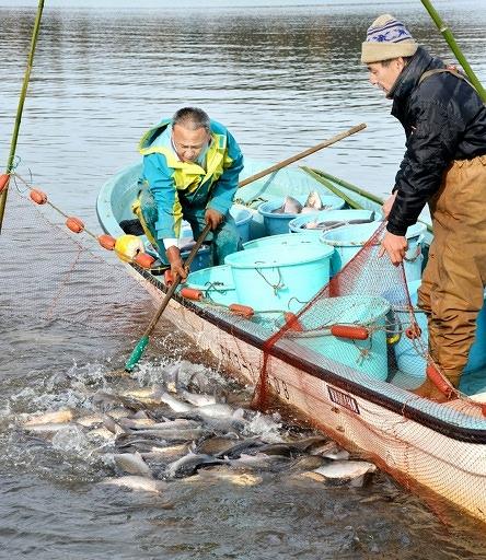 網を湖岸近くに引き寄せたところで、ピチピチと跳ねる寒ブナをたもで引き揚げる