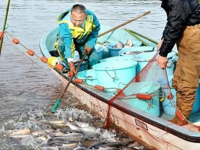 北潟湖で冬の風物詩、寒ブナ漁 伝統継承、刺し身や煮付けに