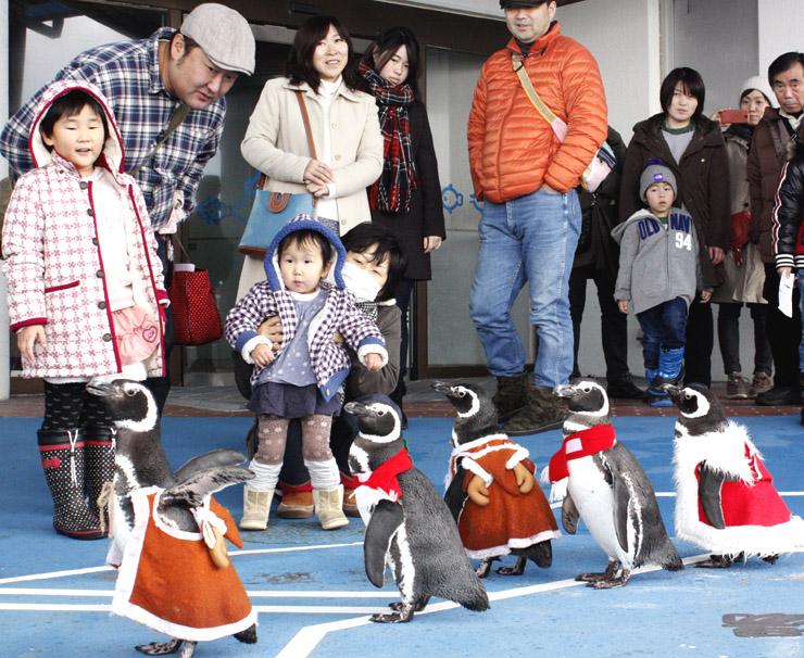 サンタクロースの衣装を着て行進するペンギン=七尾市ののとじま臨海公園水族館