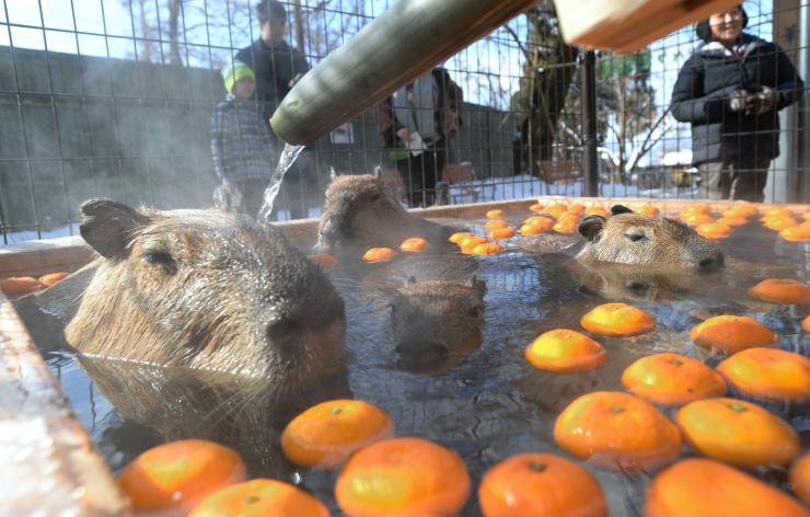 ミカンが浮かぶ湯船に気持ち良さそうに漬かるカピバラの親子=3日、須坂市動物園