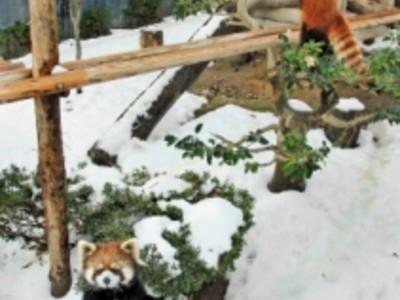 雪の西山動物園 寒さへっちゃら 人気者が転げ回る元気