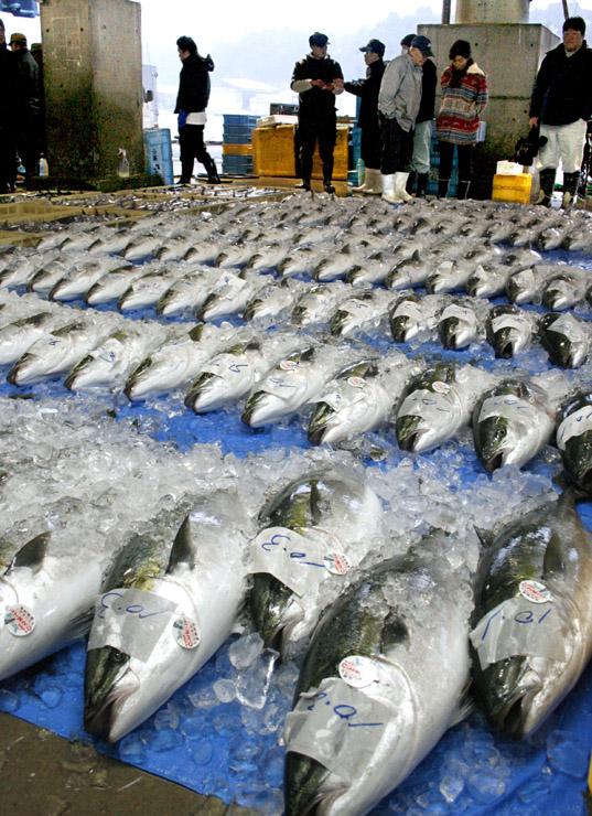 初競りに掛けられるブリ=能登町宇出津の石川県漁協能都支所荷さばき所