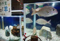 正月に合わせて展示されたマダイ(右)とウミシダ=3日、上越市の市立水族博物館
