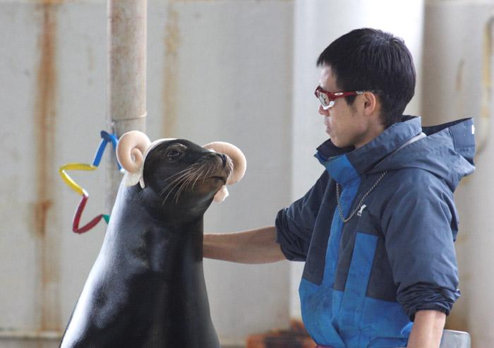 ヒツジのカチューシャを付けて登場したアシカのユウキ=七尾市ののとじま臨海公園水族館