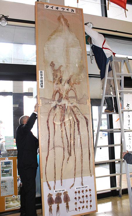 新湊きっときと市場に展示された全長約3メートルのダイオウイカのするめ=射水市海王町