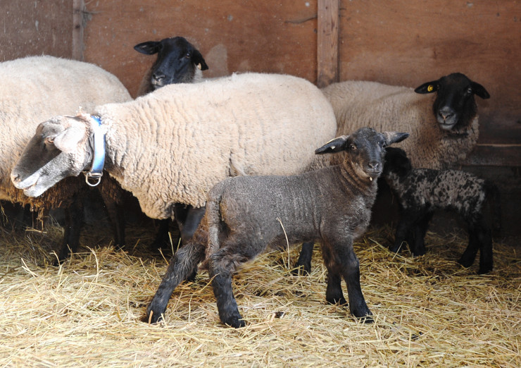 親と一緒によちよち歩く子羊(手前)=9日、東御市和の信大繊維学部付属大室農場