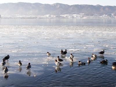 諏訪湖、氷の切れ目に水鳥 「御神渡り」氷安定の兆しも