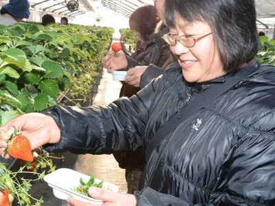 甘い香りに笑顔 喬木村でイチゴ狩り始まる