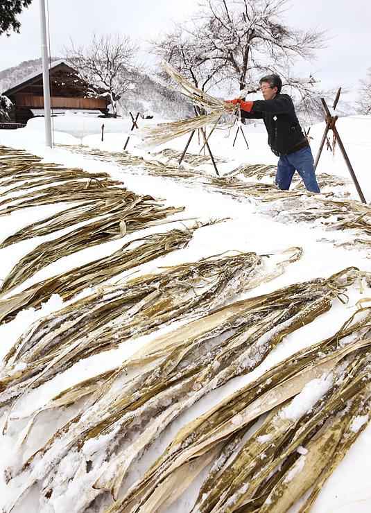 雪の上でさらされるコウゾ=南砺市東中江(平)
