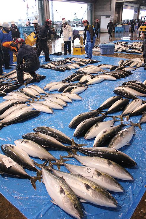 競り場に並べられたひみ寒ぶり。今シーズンの水揚げトータルが2万本を超えた=氷見魚市場