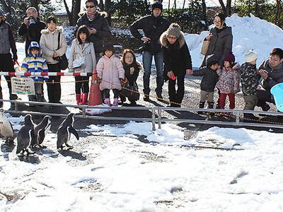 """日曜・祝日にペンギンの""""お散歩"""" 2月まで"""