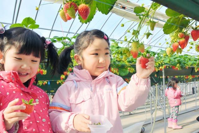 真っ赤に実ったイチゴを丁寧に摘み取る園児=20日、福井県あわら市山十楽の「農楽里」