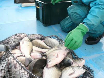 邑知潟の寒ぶな丸々 羽咋で漁最盛期