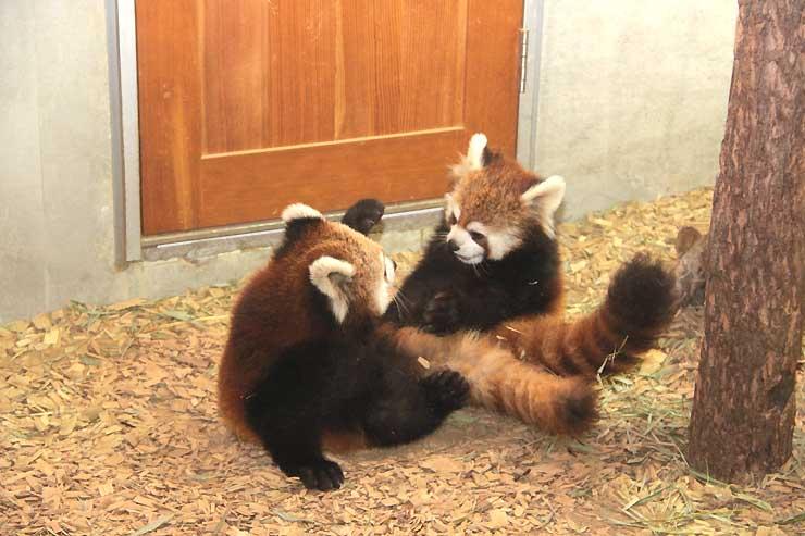 茶臼山動物園が飼育している双子のレッサーパンダ