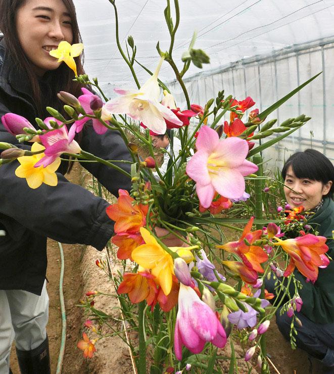 色鮮やかに咲くエアリーフローラ。北陸新幹線金沢開業に向けて3万本の栽培が進む=金沢市の県農林総合研究センター農業試験場