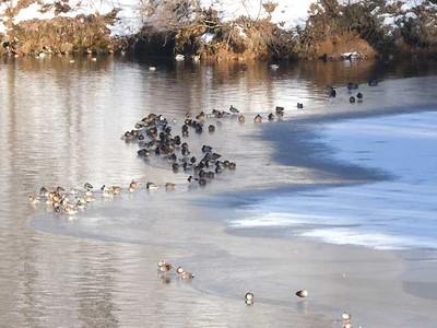 もみじ湖結氷、水鳥憩う場に 静かな箕輪の紅葉スポット