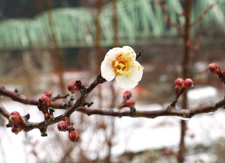 うっすらと雪化粧した「うぐす梅園」でほころぶ竜峡小梅の花=30日正午すぎ、天龍村