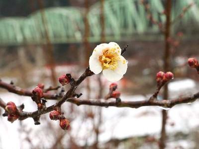 春、待ち切れない 天龍で竜峡小梅ほころぶ