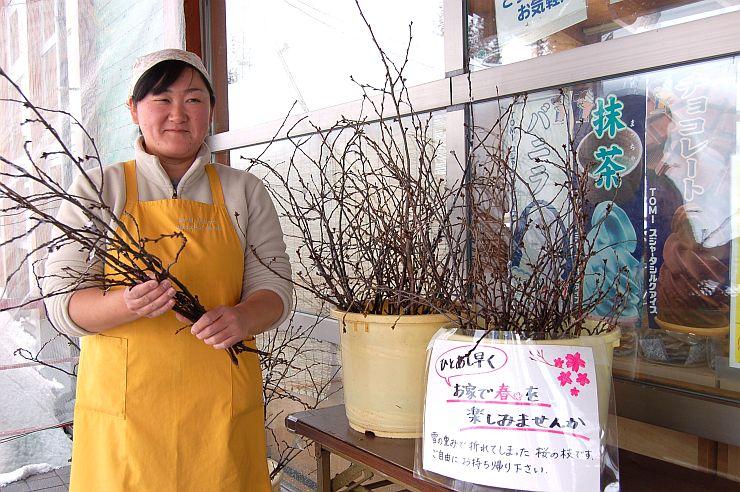 雪の重みで折れた桜の枝。道の駅の来場者に一足早く春を届ける=魚沼市大栃山