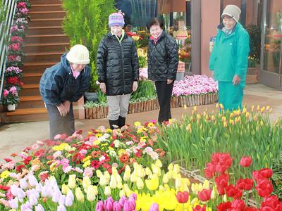 春の到来を演出 チューリップ四季彩館