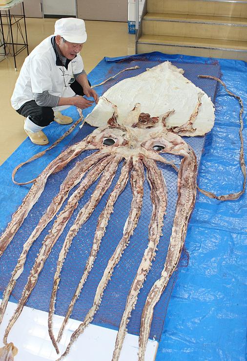 足が10本そろったダイオウイカの展示用するめ。22日には試食会もある=浜常食品工業