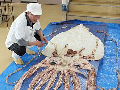 ダイオウイカどんな味? 新湊きっときと市場、22日にするめ試食会