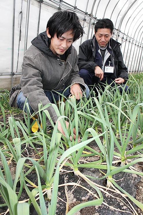 出荷間近の「葉ニンニク」の育ち具合を確認する熊本さん(左)