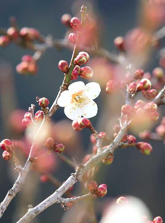 穏やかな日差しの中でほころぶ竜峡小梅=天龍村平岡鶯巣のうぐす梅園