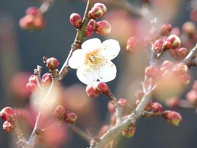 竜峡小梅、待ちわびた「開花宣言」 天龍・うぐす梅園