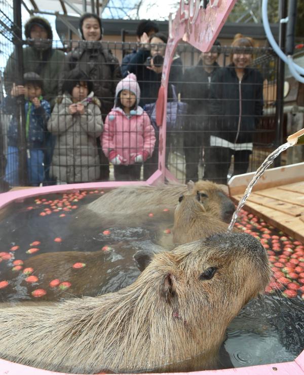 イチゴの入った風呂に漬かるカピバラ