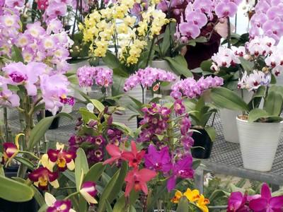 洋ラン20種、咲き誇る 小松市の農園、下旬から出荷ピーク
