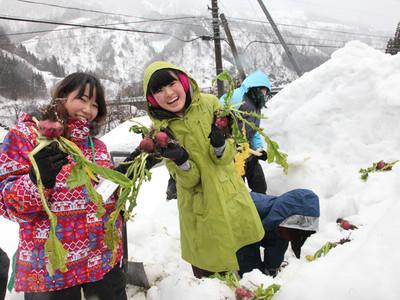 雪の中から赤カブ掘り出し 五箇山で冬体験ツアー