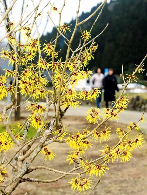 一乗谷朝倉氏遺跡を訪れた人を楽しませているマンサク=24日、福井県福井市城戸ノ内町