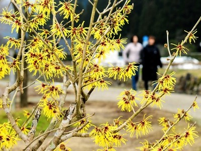 一乗谷朝倉氏遺跡でマンサク咲く 国の特別史跡、観光客満喫