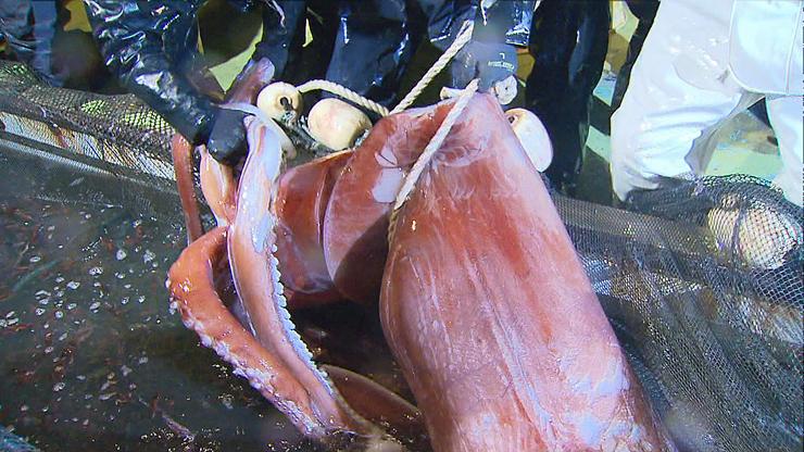 ホタルイカ漁の定置網にかかったダイオウイカ=滑川沖