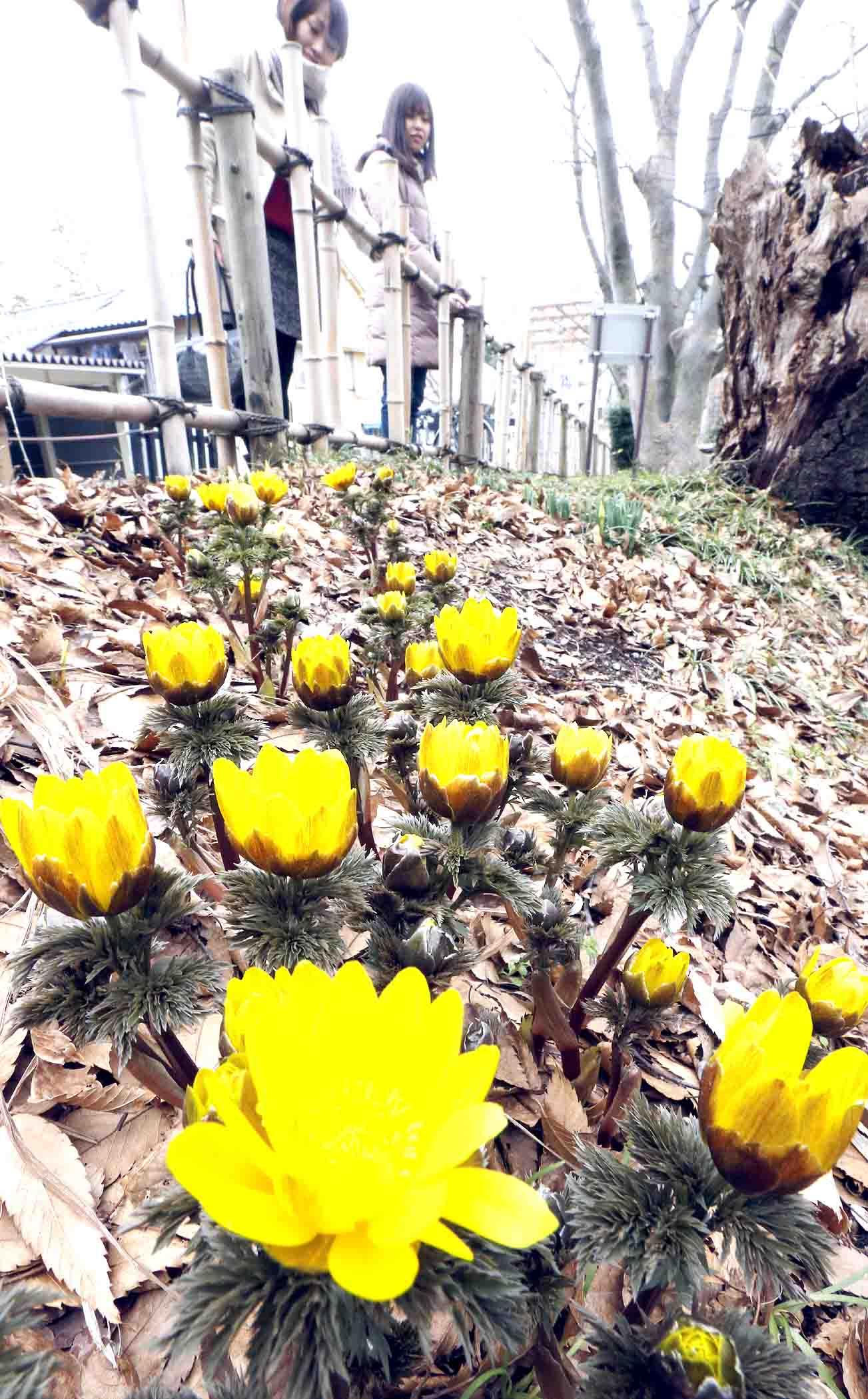 黄色い花を咲かせたフクジュソウ=金沢市丸の内