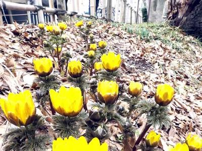フクジュソウかれん 金沢城公園、黄色い花咲かせる
