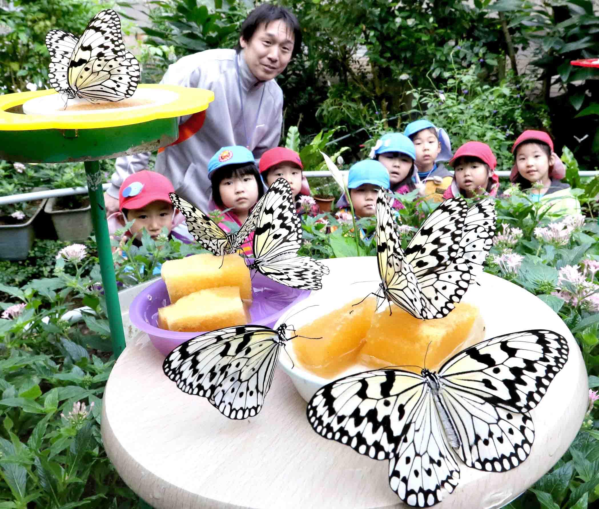 蜜を吸うオオゴマダラ=白山市の石川県ふれあい昆虫館