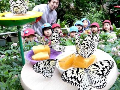 チョウが羽化、春へ羽ばたく 白山市の県ふれあい昆虫館
