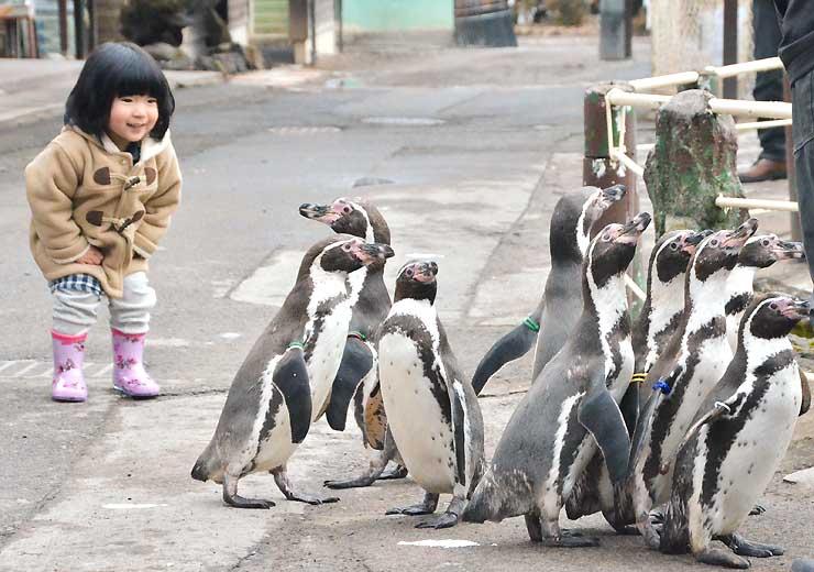 動物園内の歩道を歩くペンギンを眺める子ども