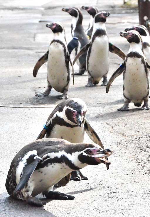 餌を食べるペンギン