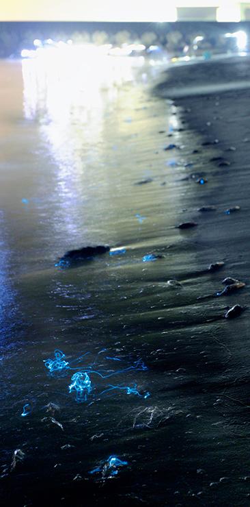 波際に打ち寄せられ、青白い光を放つホタルイカの「身投げ」。奥の光はたもでホタルイカを捕る人たちの懐中電灯の明かり=17日午前1時39分、富山市の八重津浜(30秒露光)