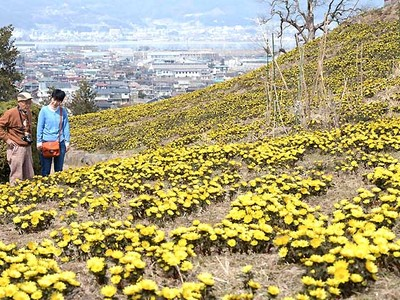 鮮やか、春を運ぶ黄色 諏訪でフクジュソウ一面に