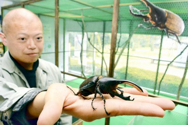 期間中、触ることができるヘラクレスオオカブト=20日、福井市自然史博物館